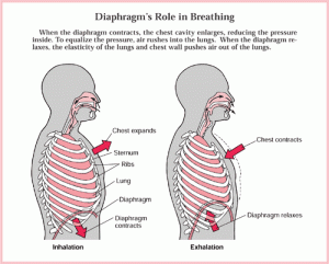 The relationship of breathing to posture and brain free yoga with elin breathing 300x241 ccuart Images